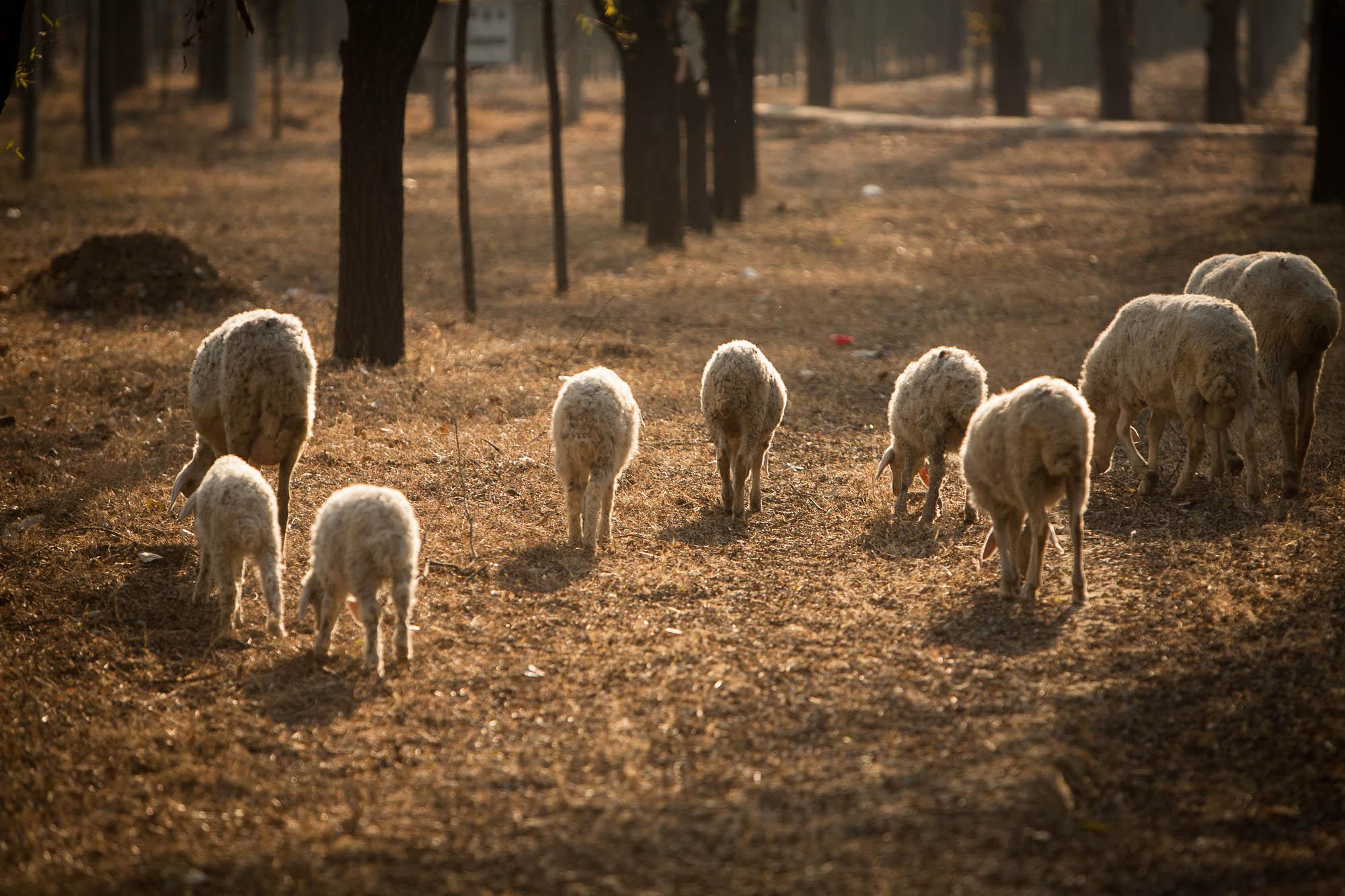 flock of sheep near Beijing