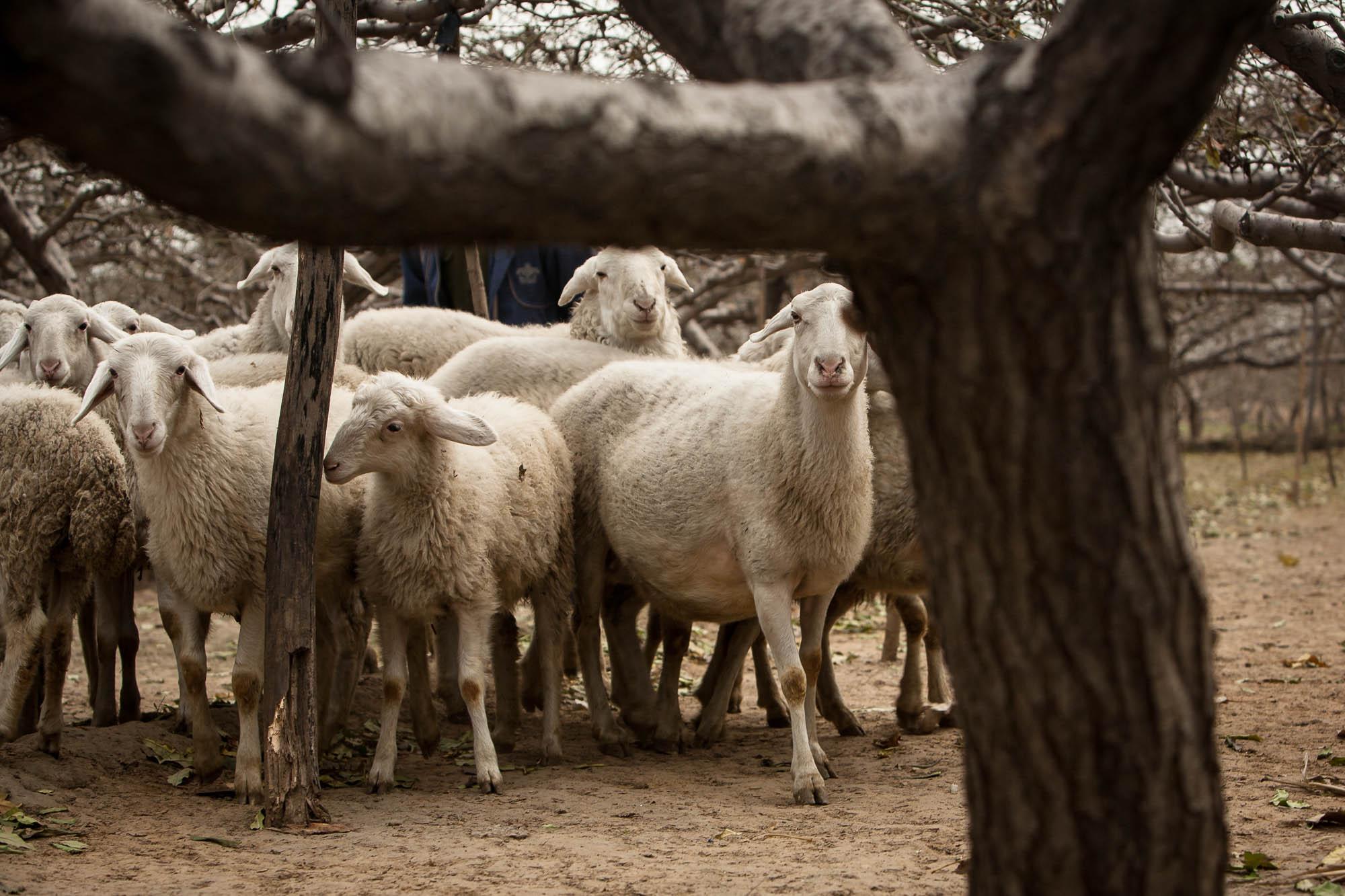 sheep in Hebei