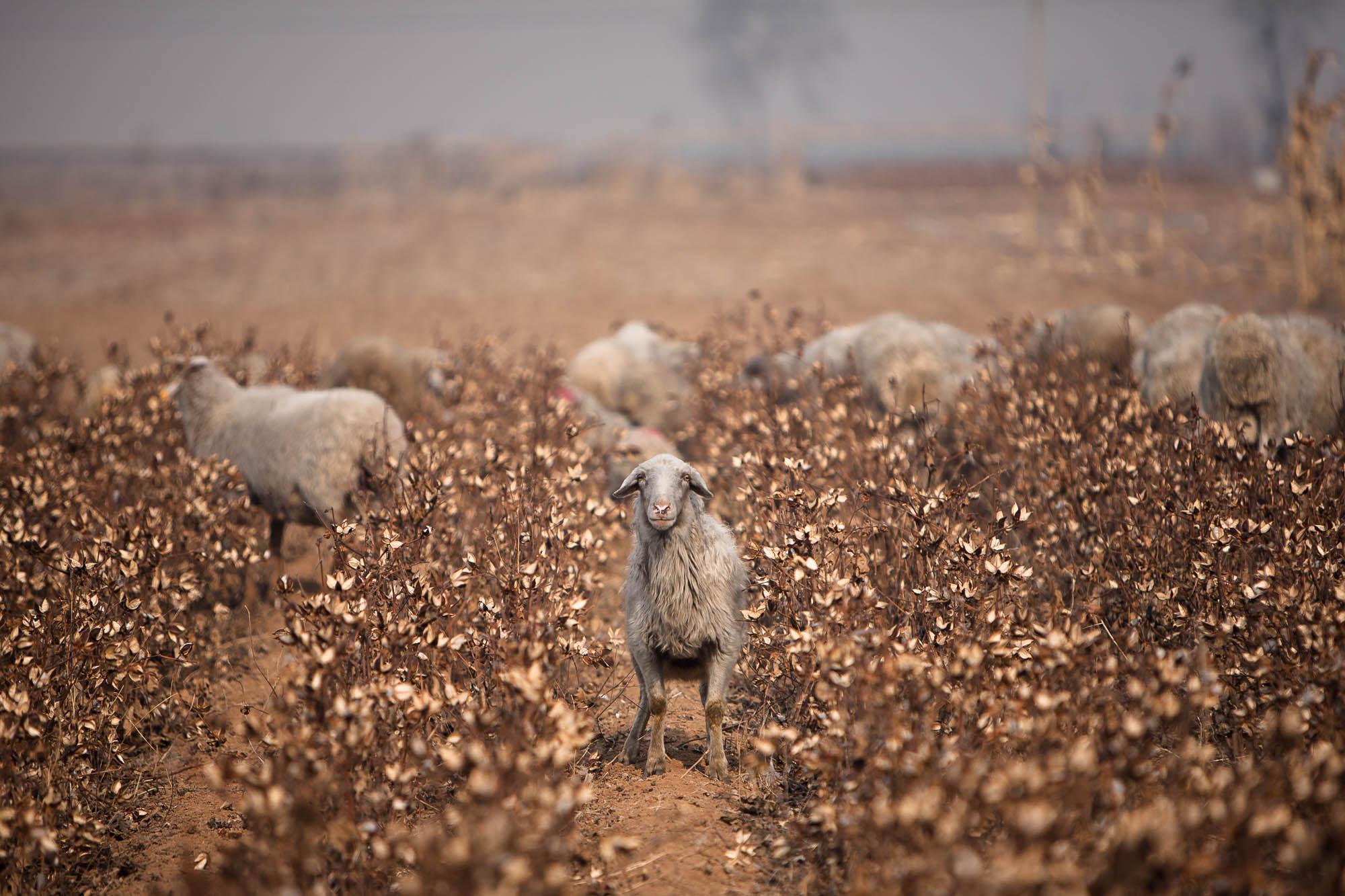 sheep in Shanxi