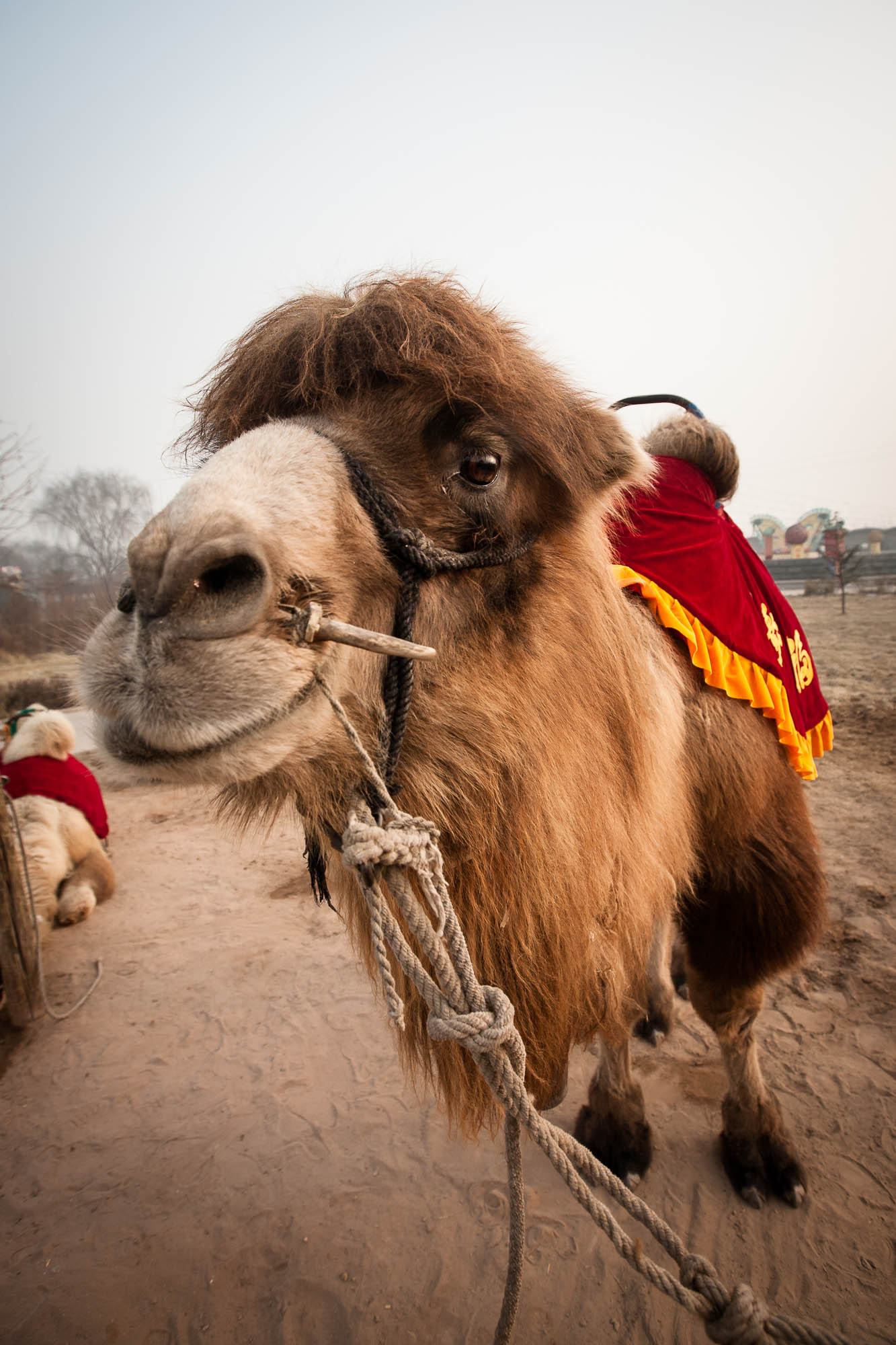 honorable camel