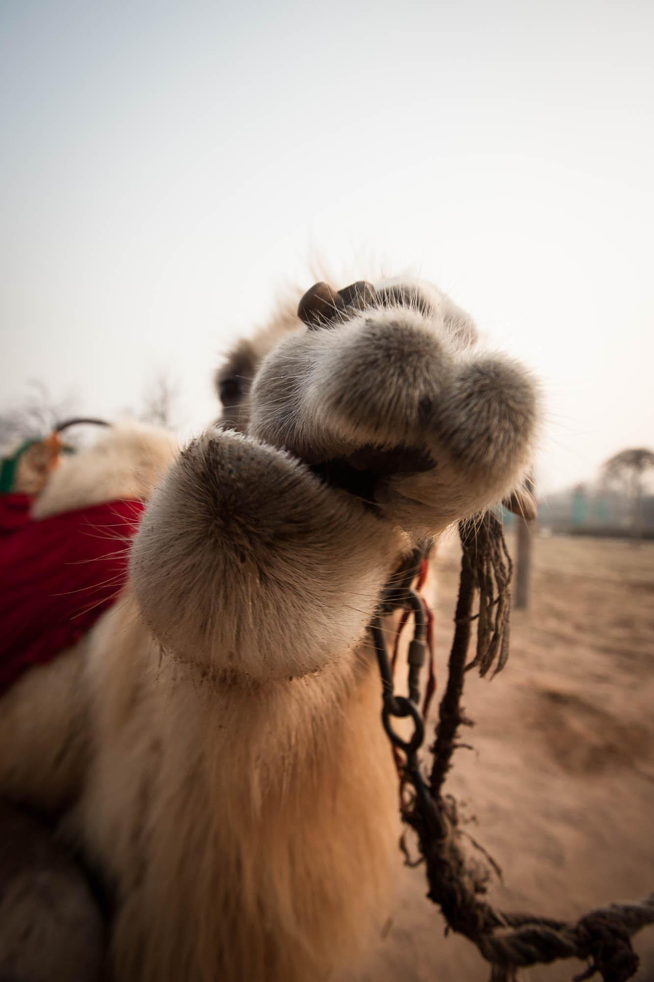 foolish camel