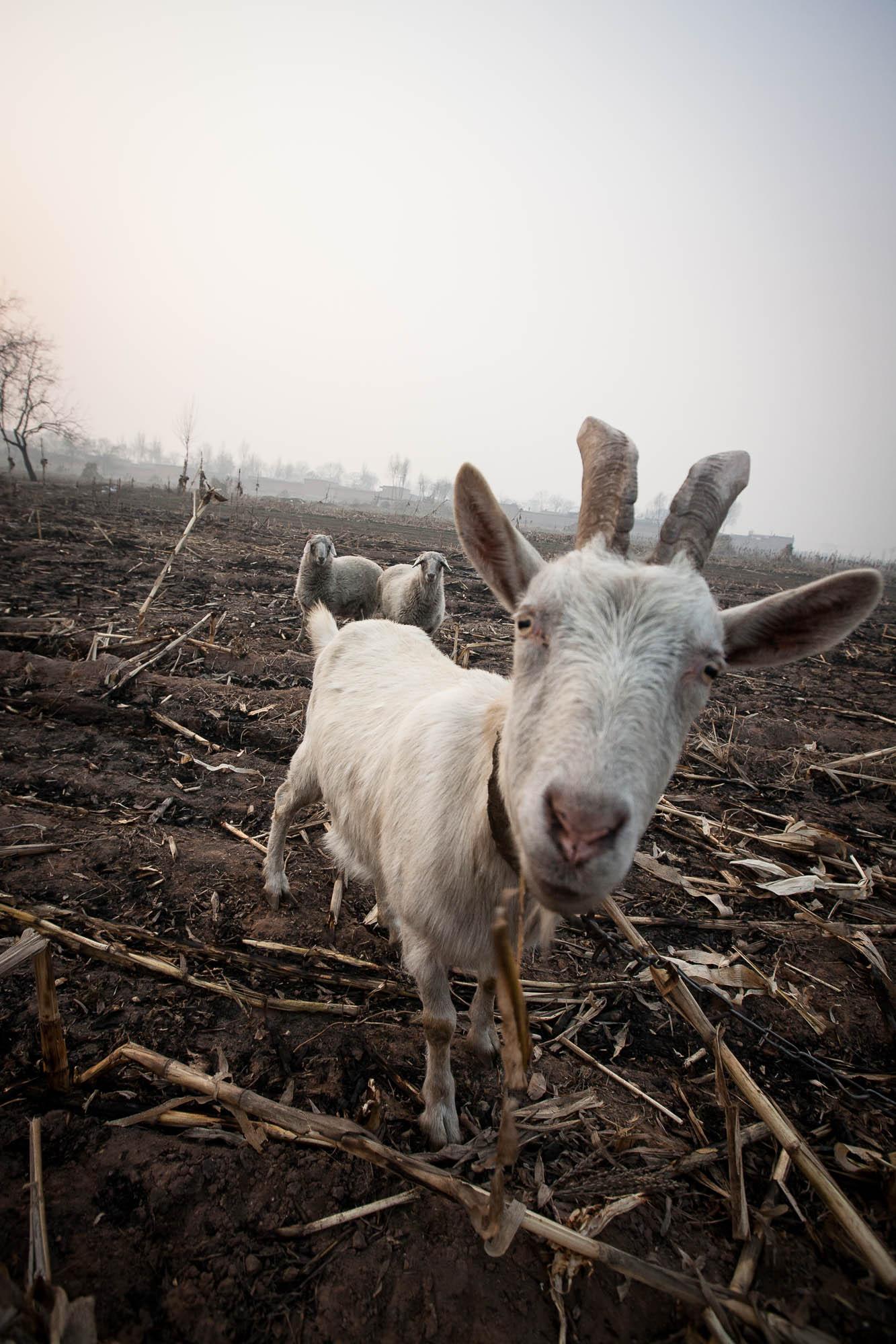 goat in Shanxi
