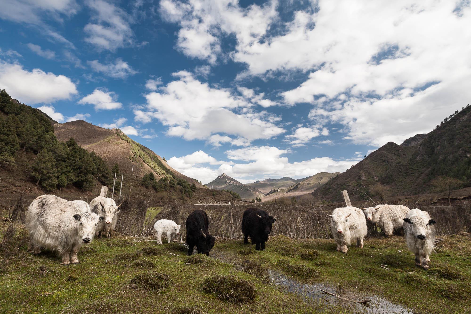 white and black yaks