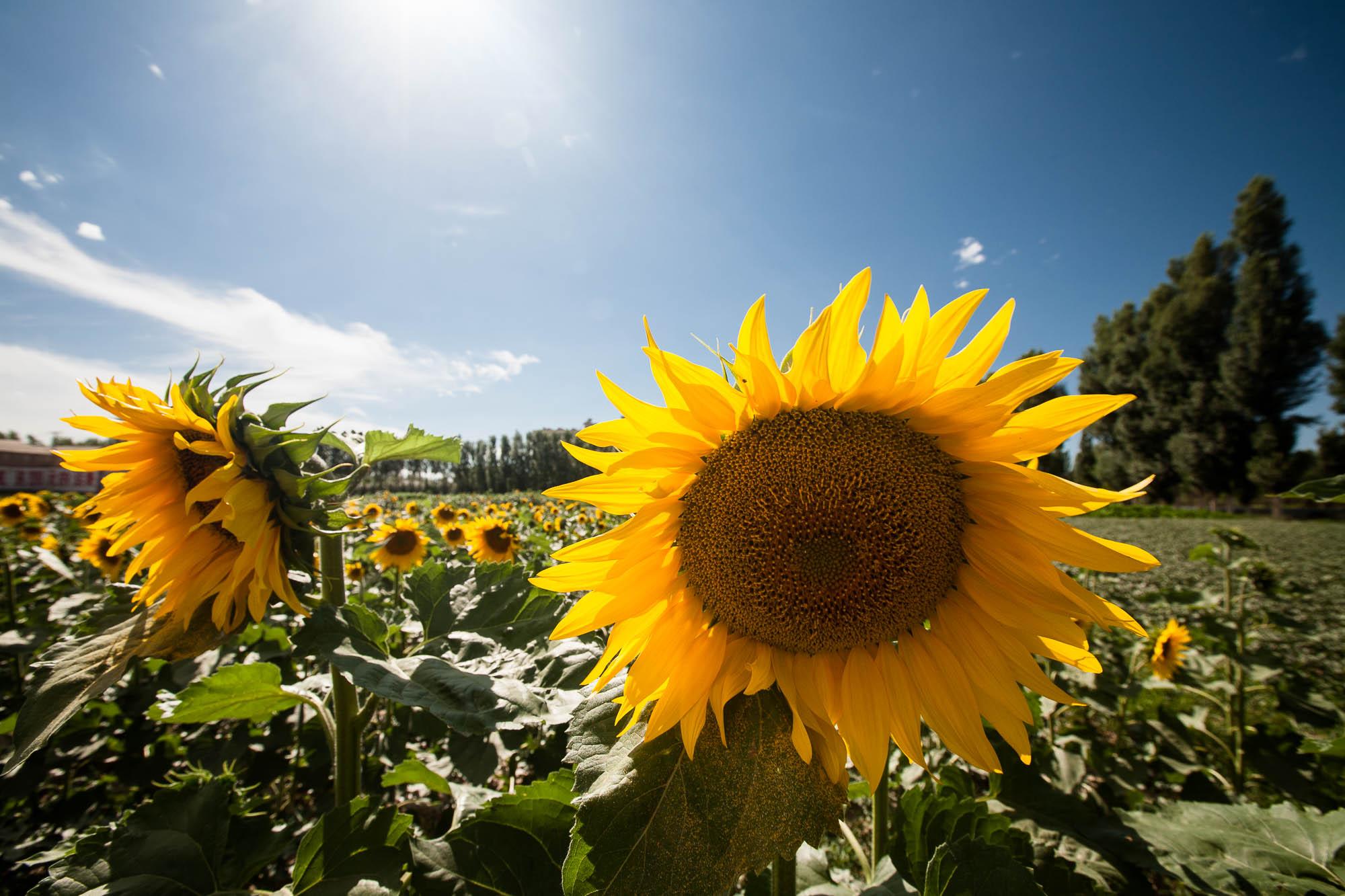big fat sunflowers