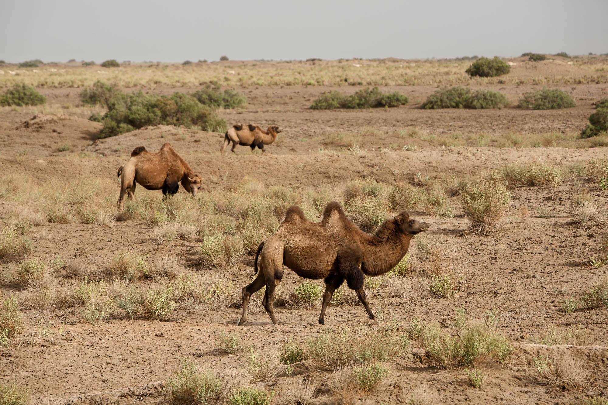 more camels