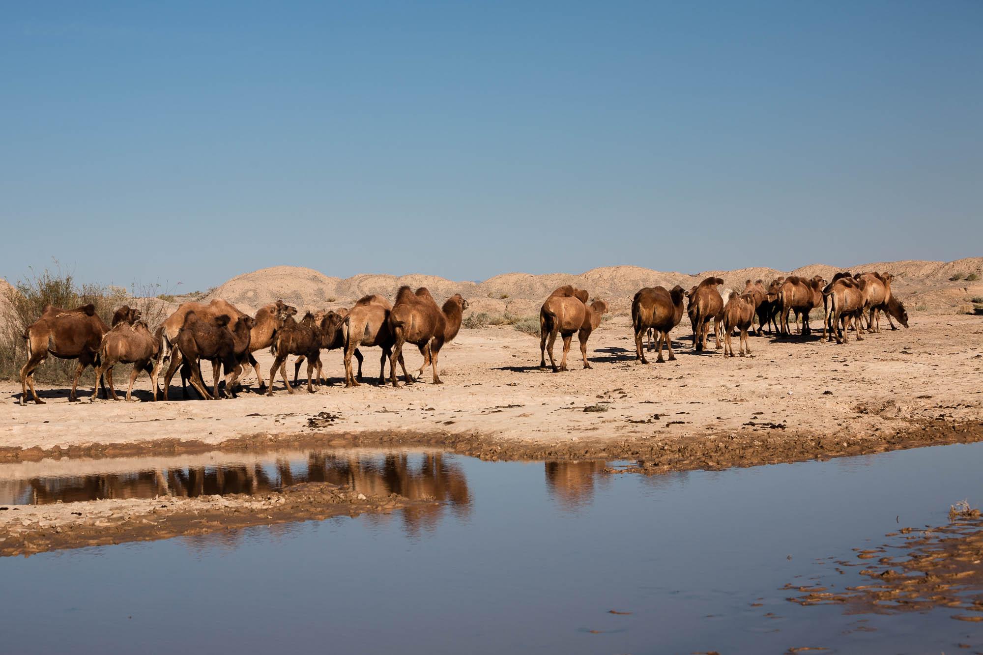 camels leaving
