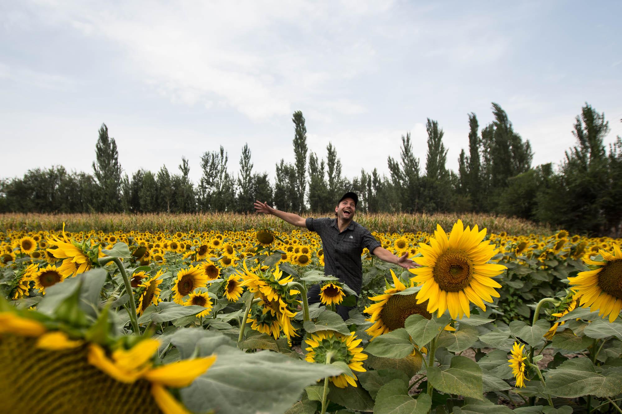 sunflower Dario