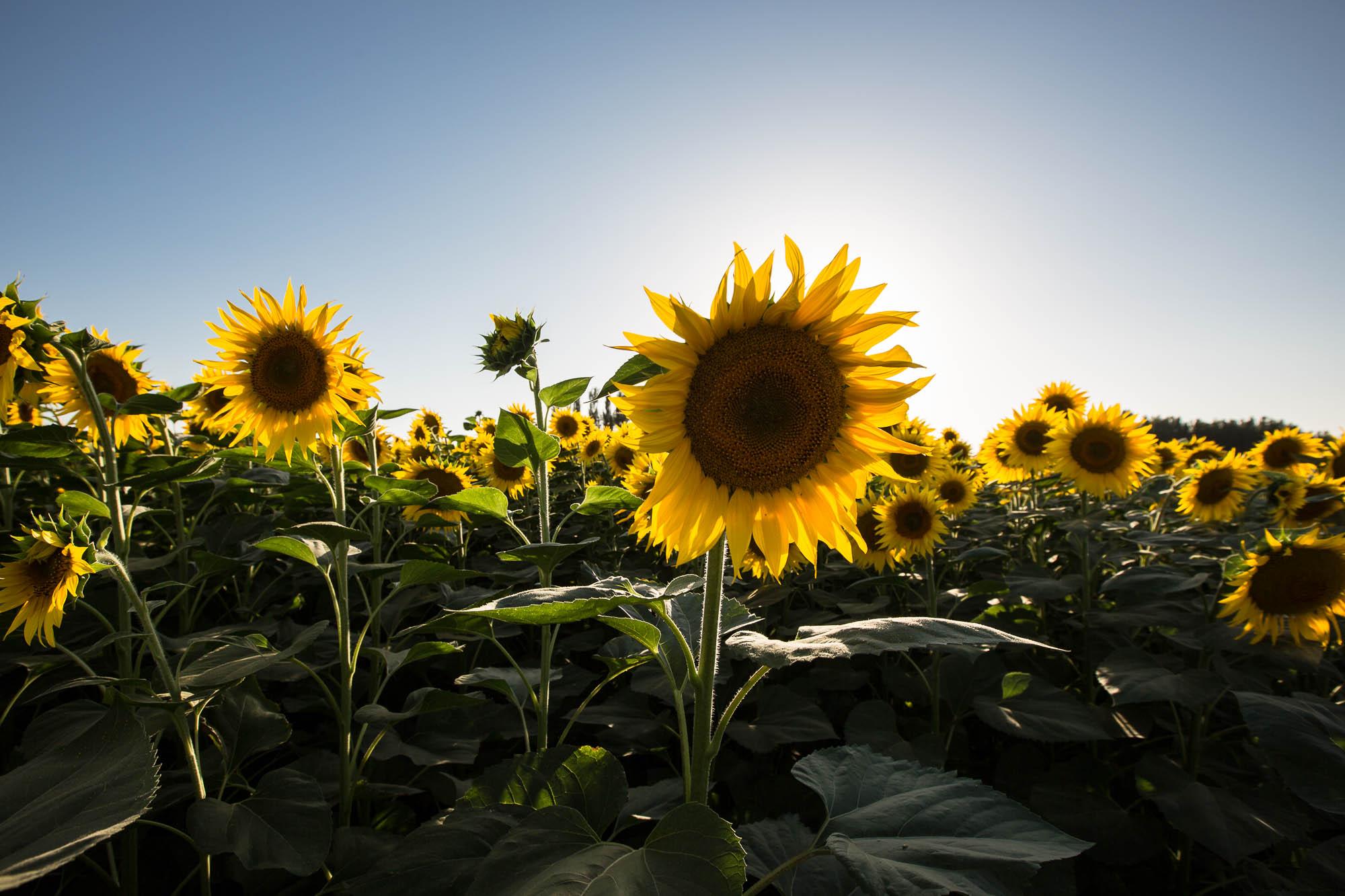 big fat sunflower