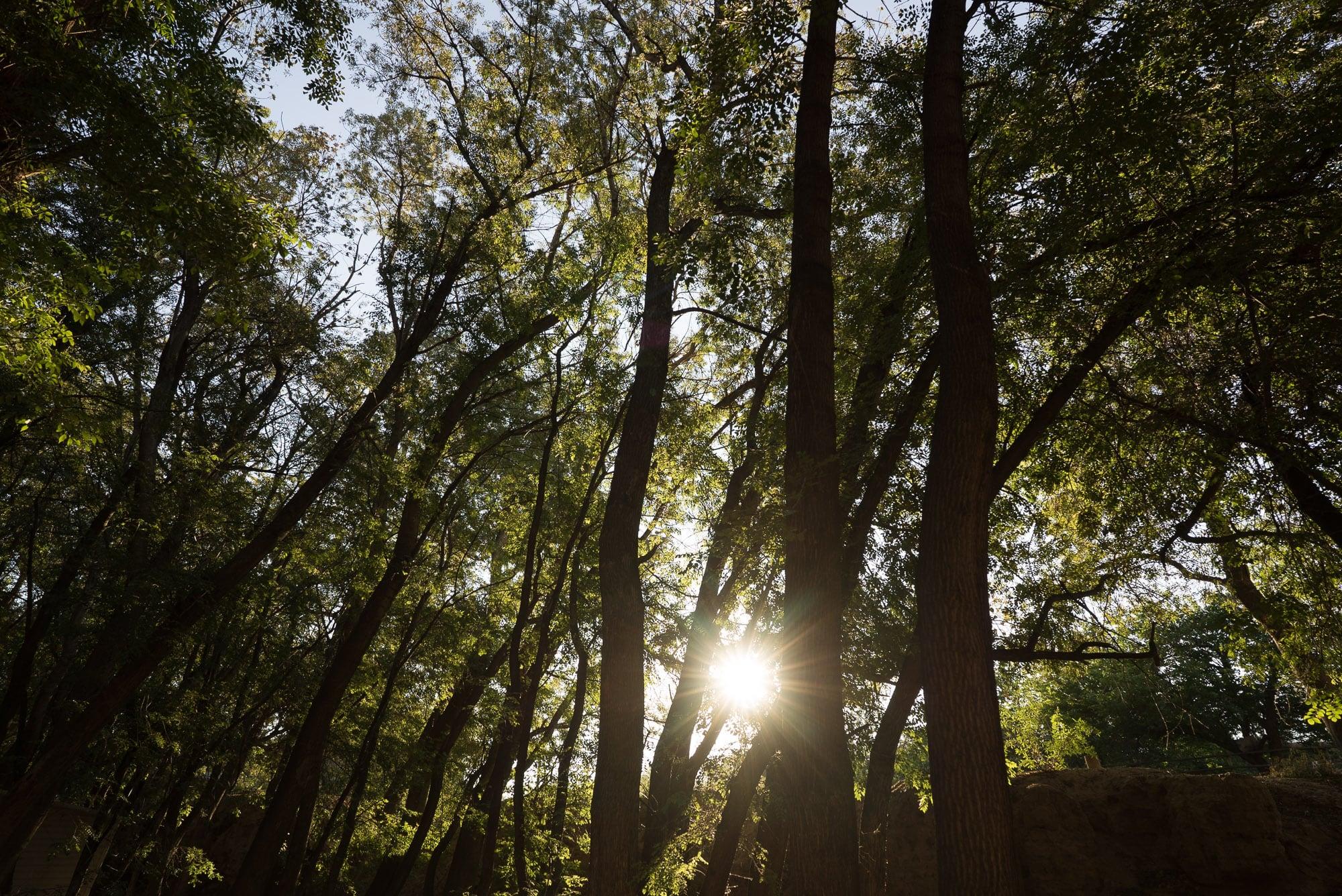 Ash Grove trees