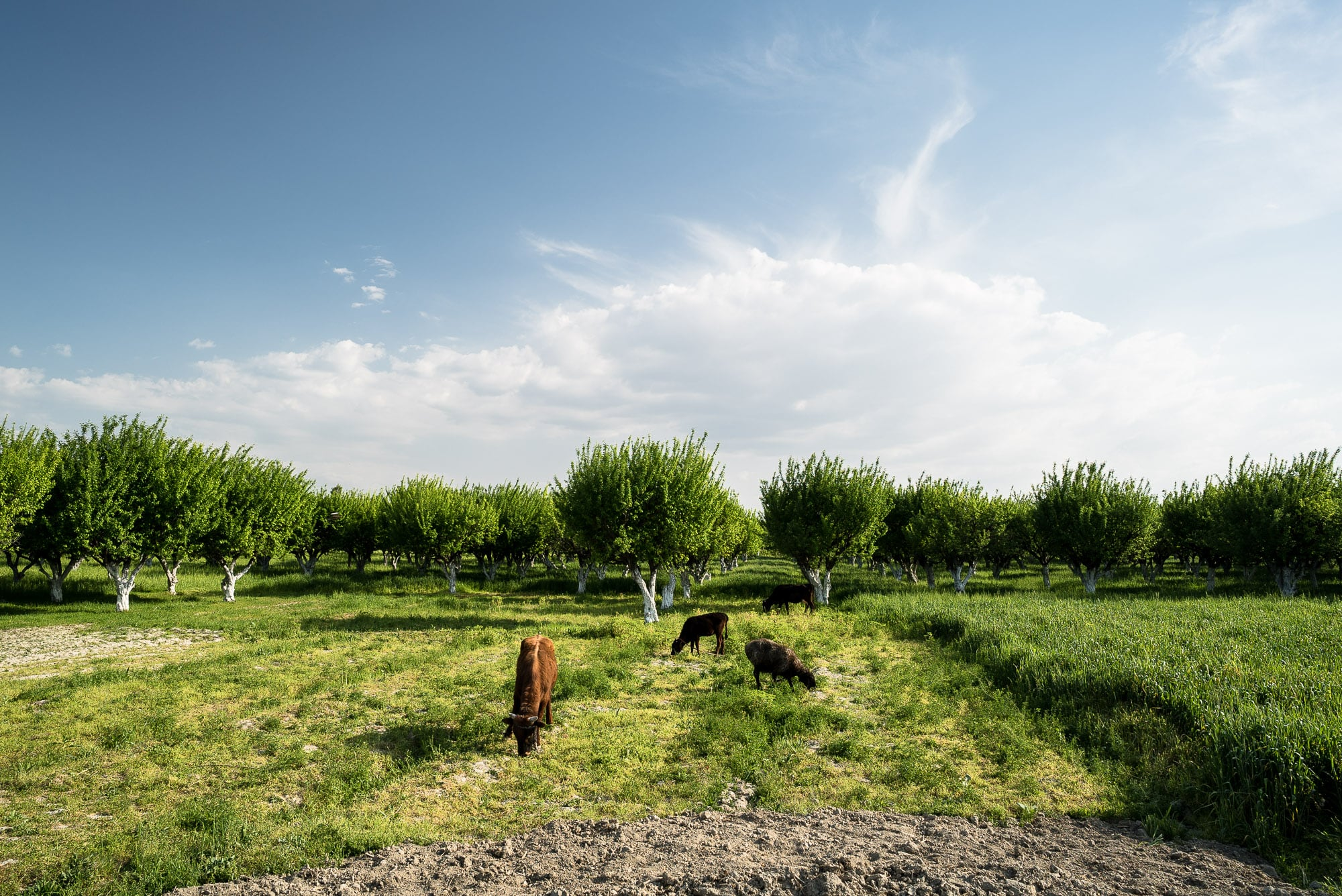 cows near Samarkand