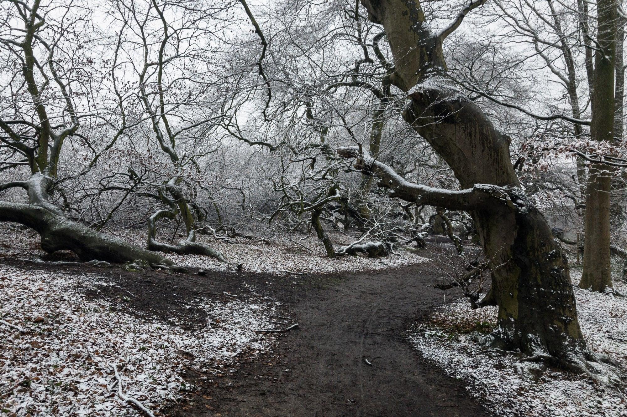 snowy dwarf beeches