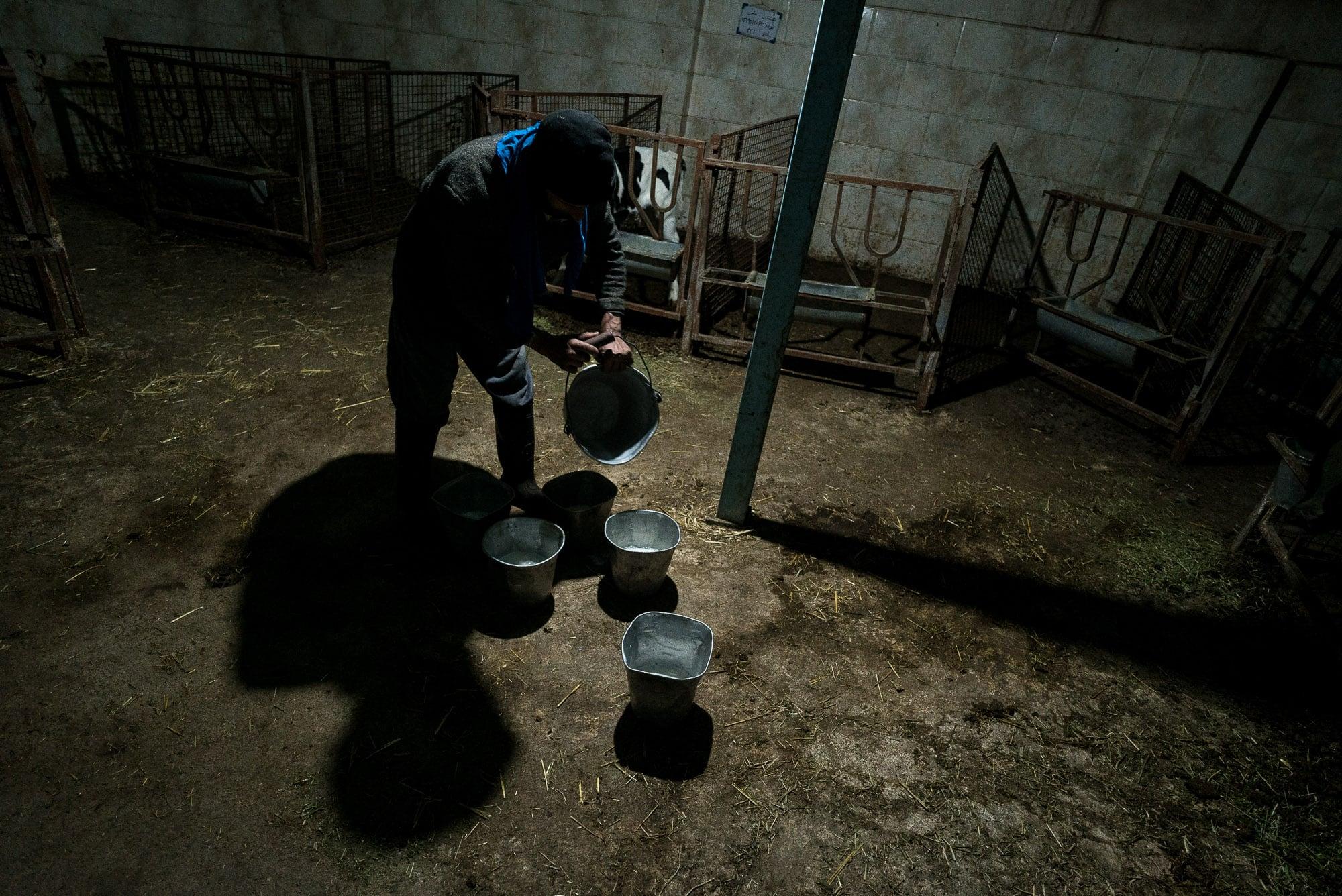 milk for calves