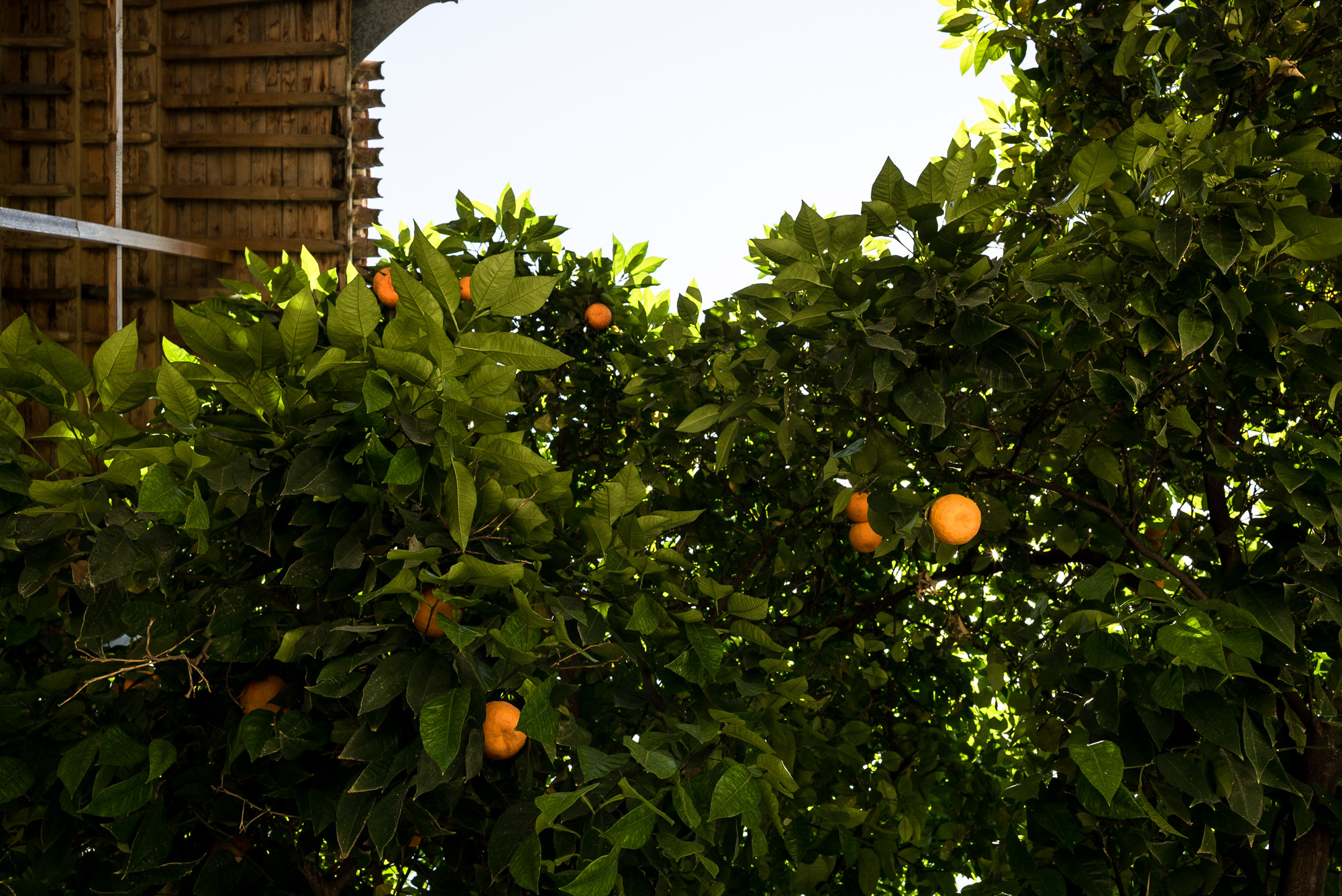 orange trees in Gorgan
