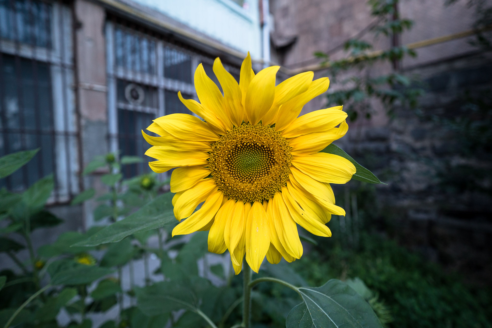 sunflower in Yerevan