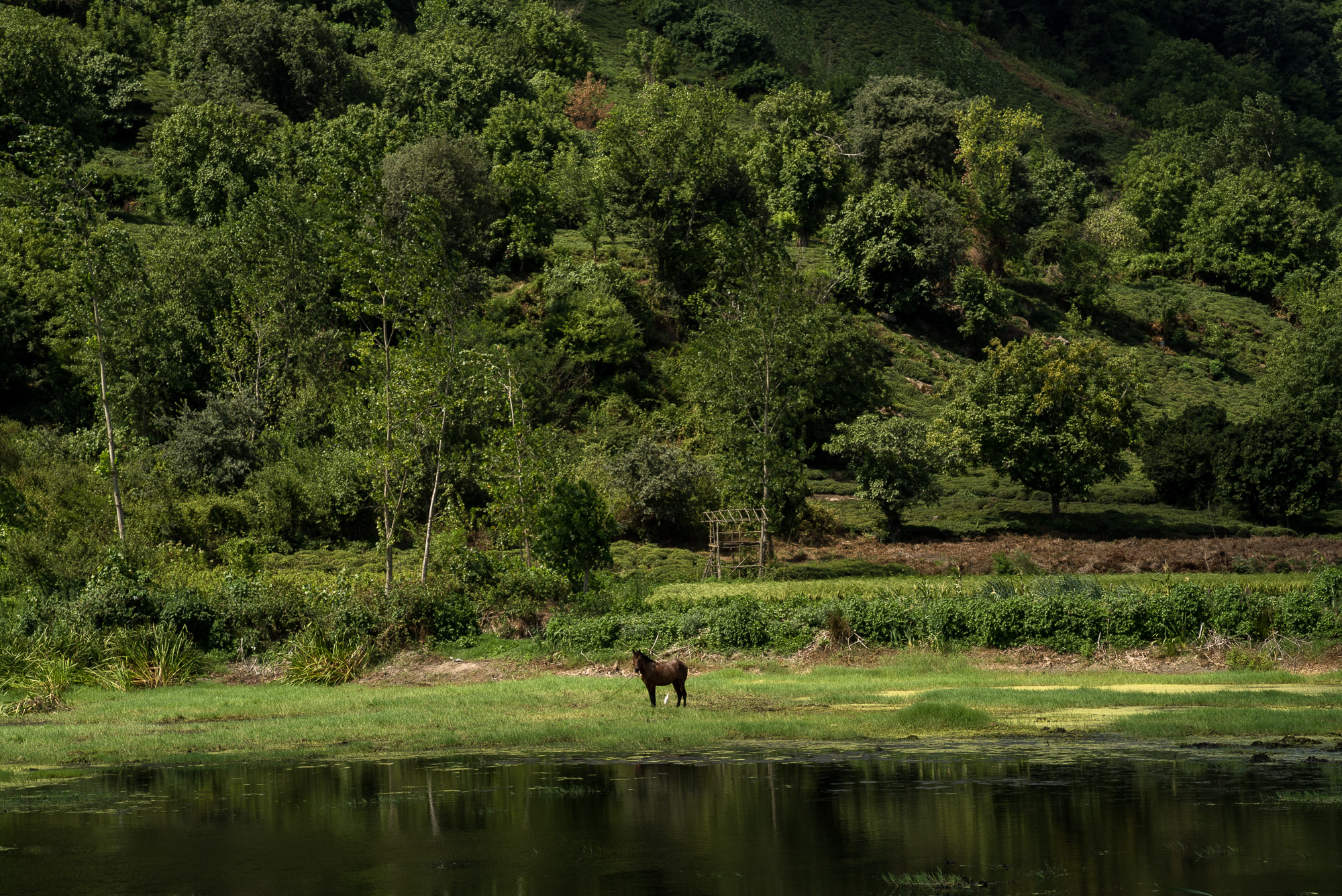 horse in Gilan