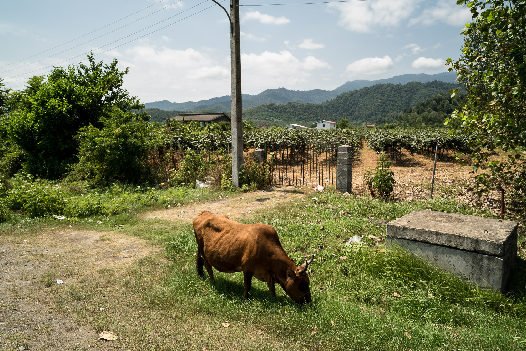 cow near Talesh
