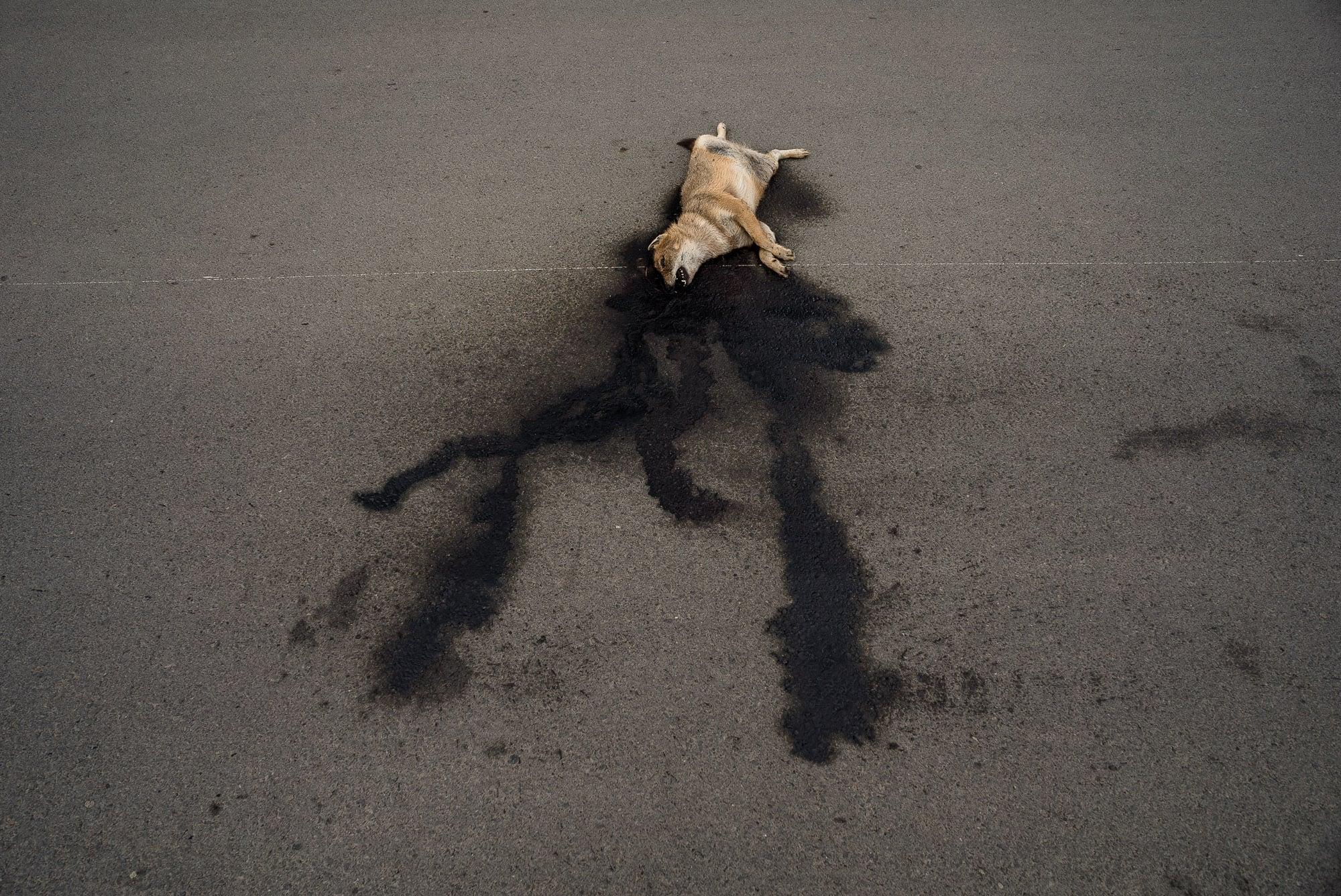 dead dog or jackal?