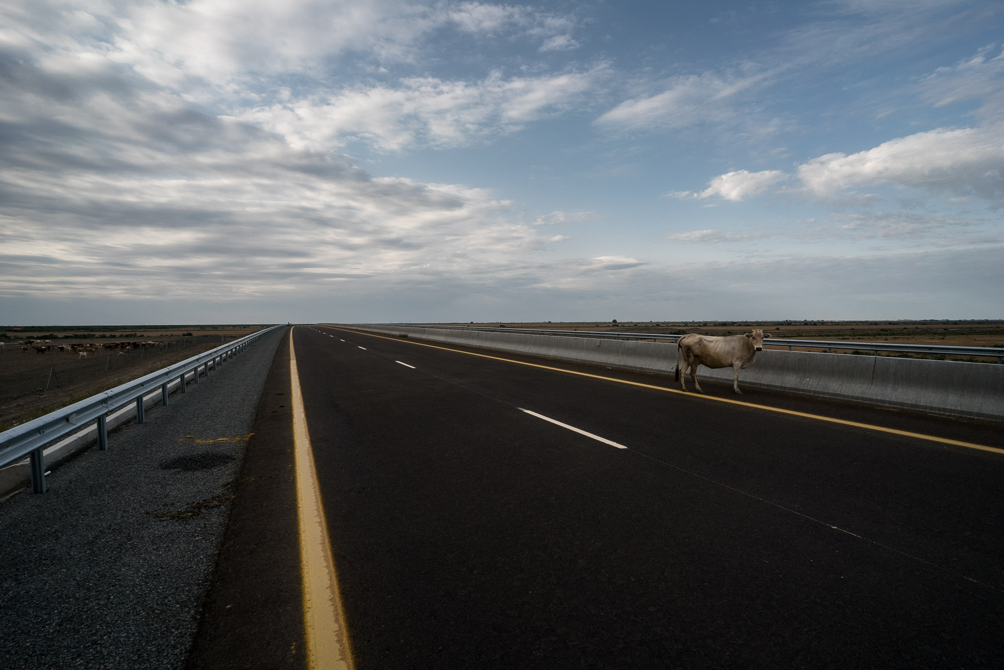 cow on the new highway
