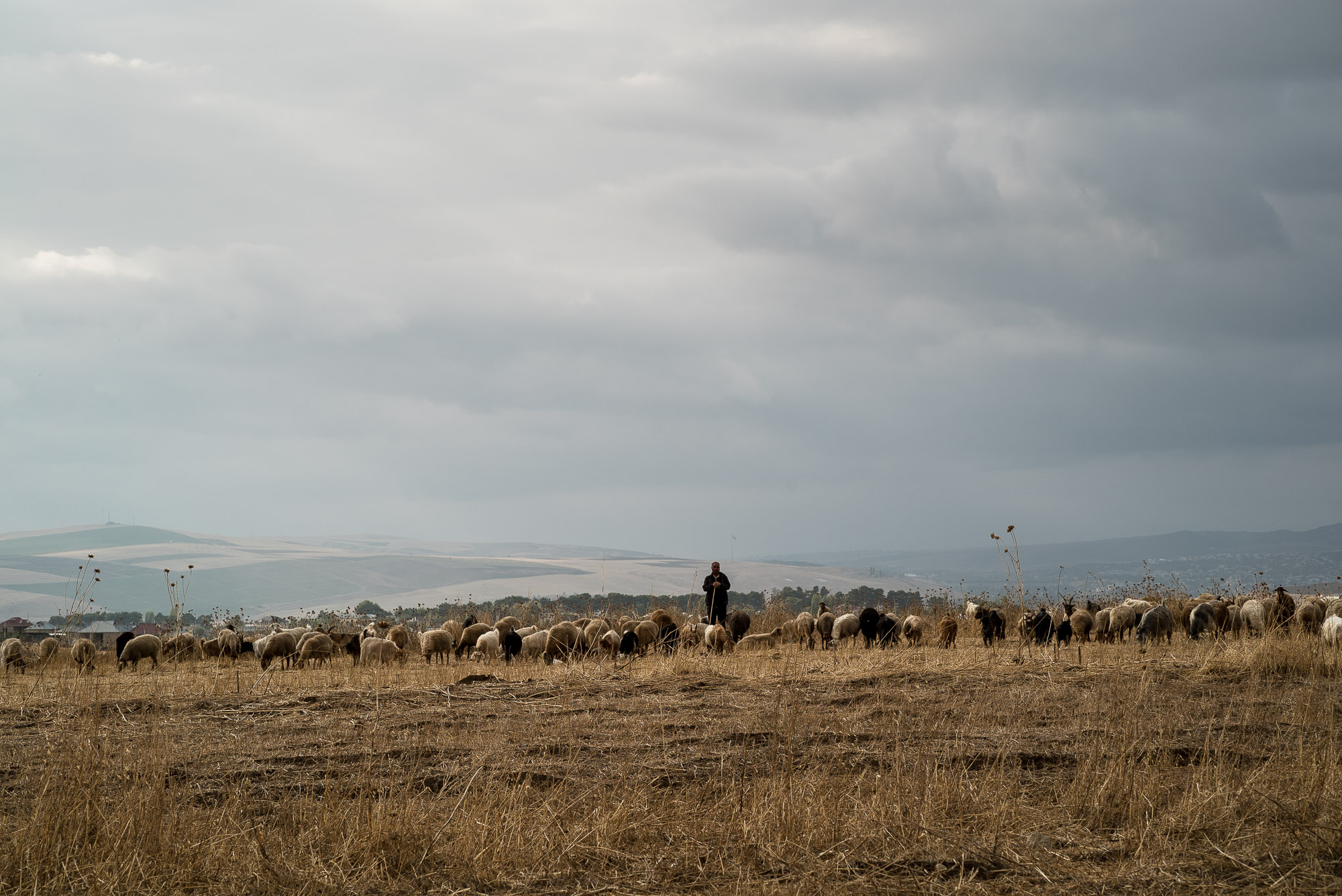 herder with herd