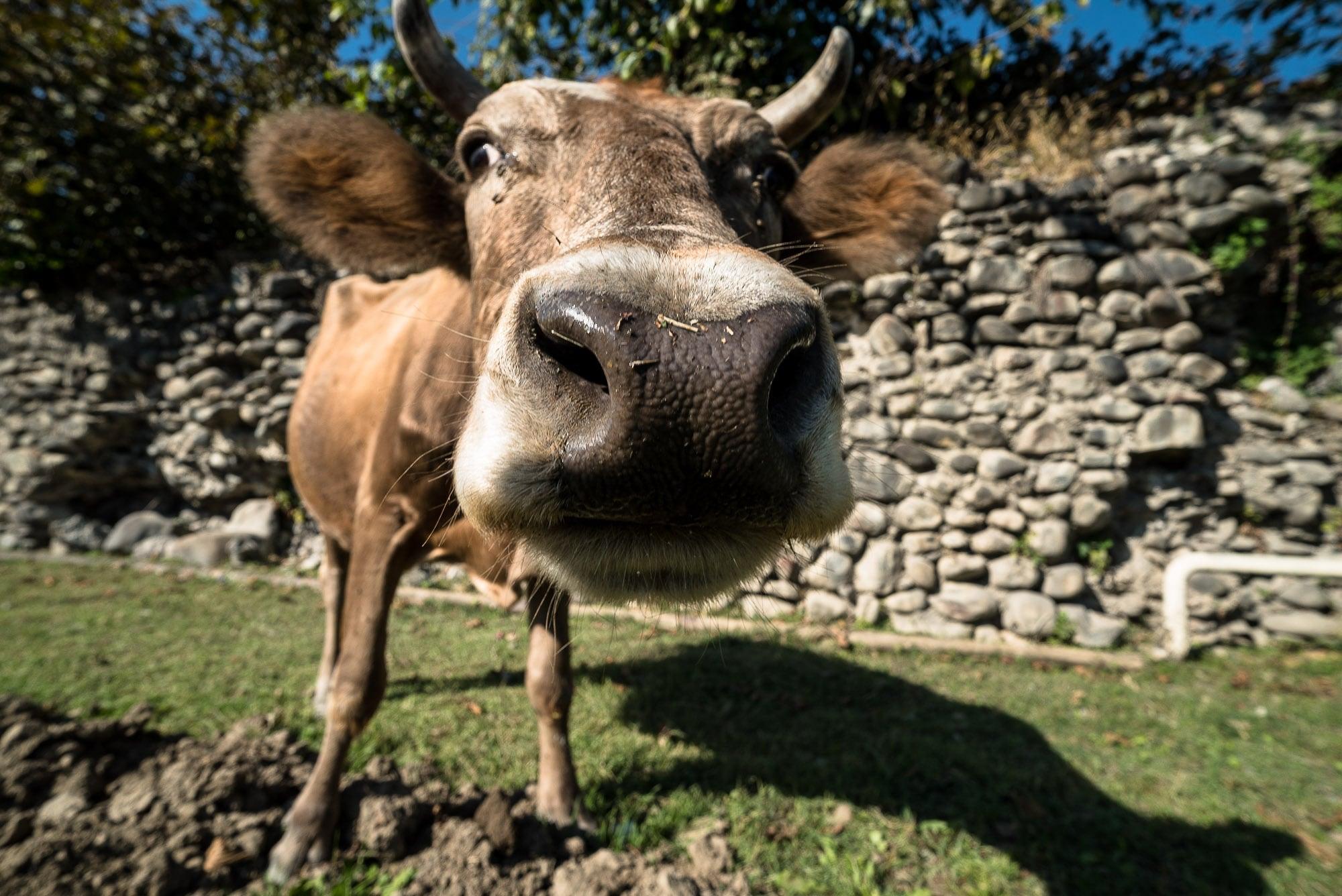 greedy cow