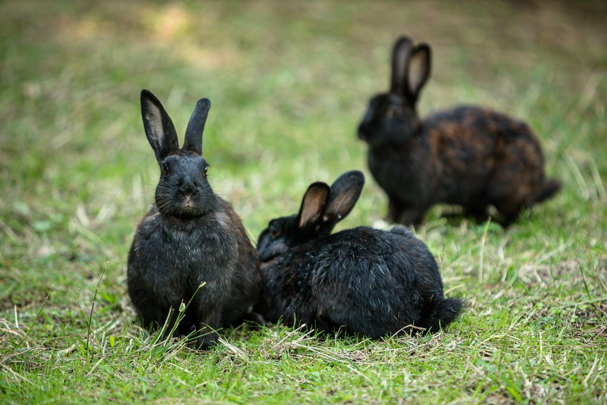 black fat lazy bunnies