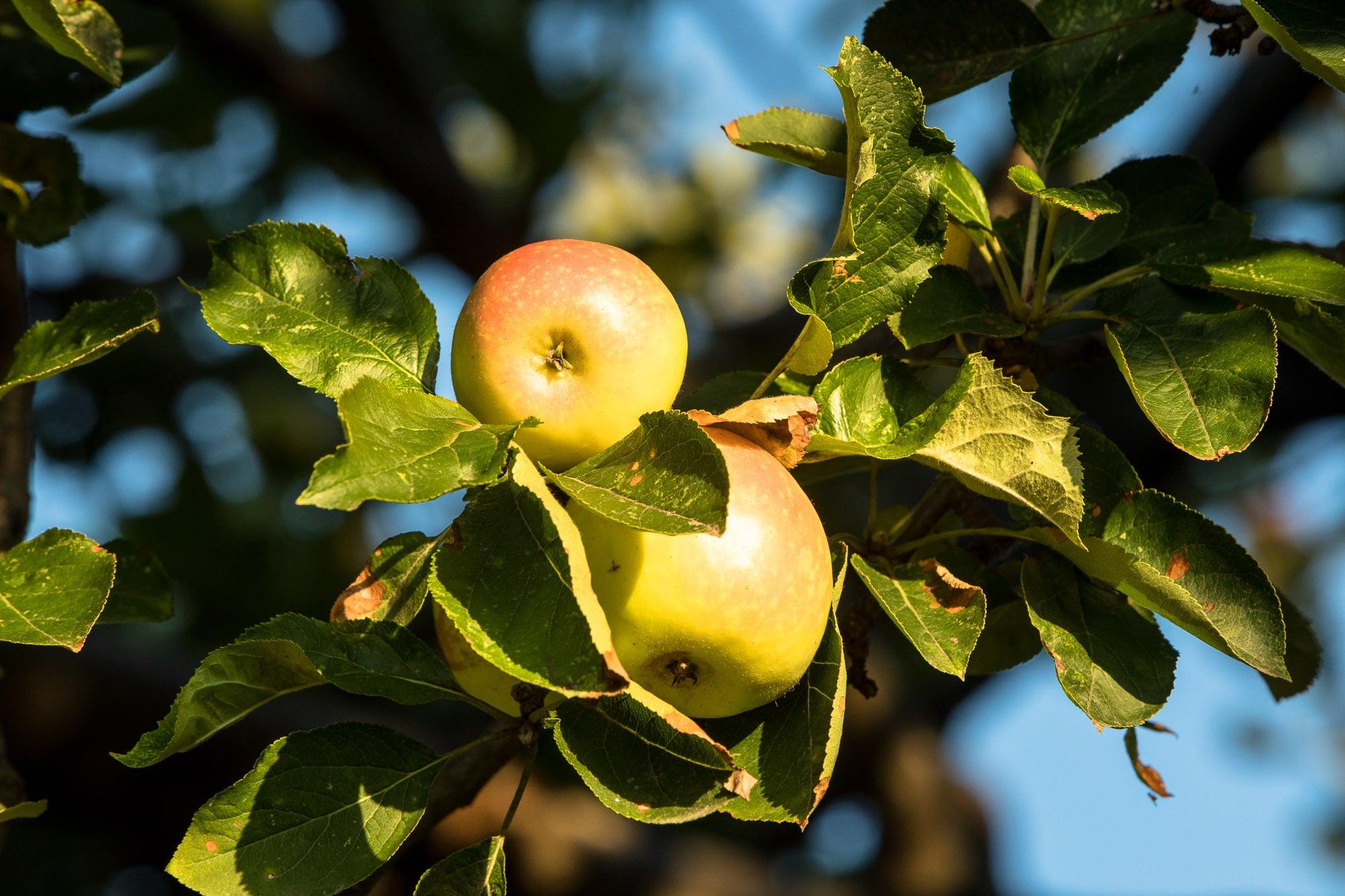 apples near Görele
