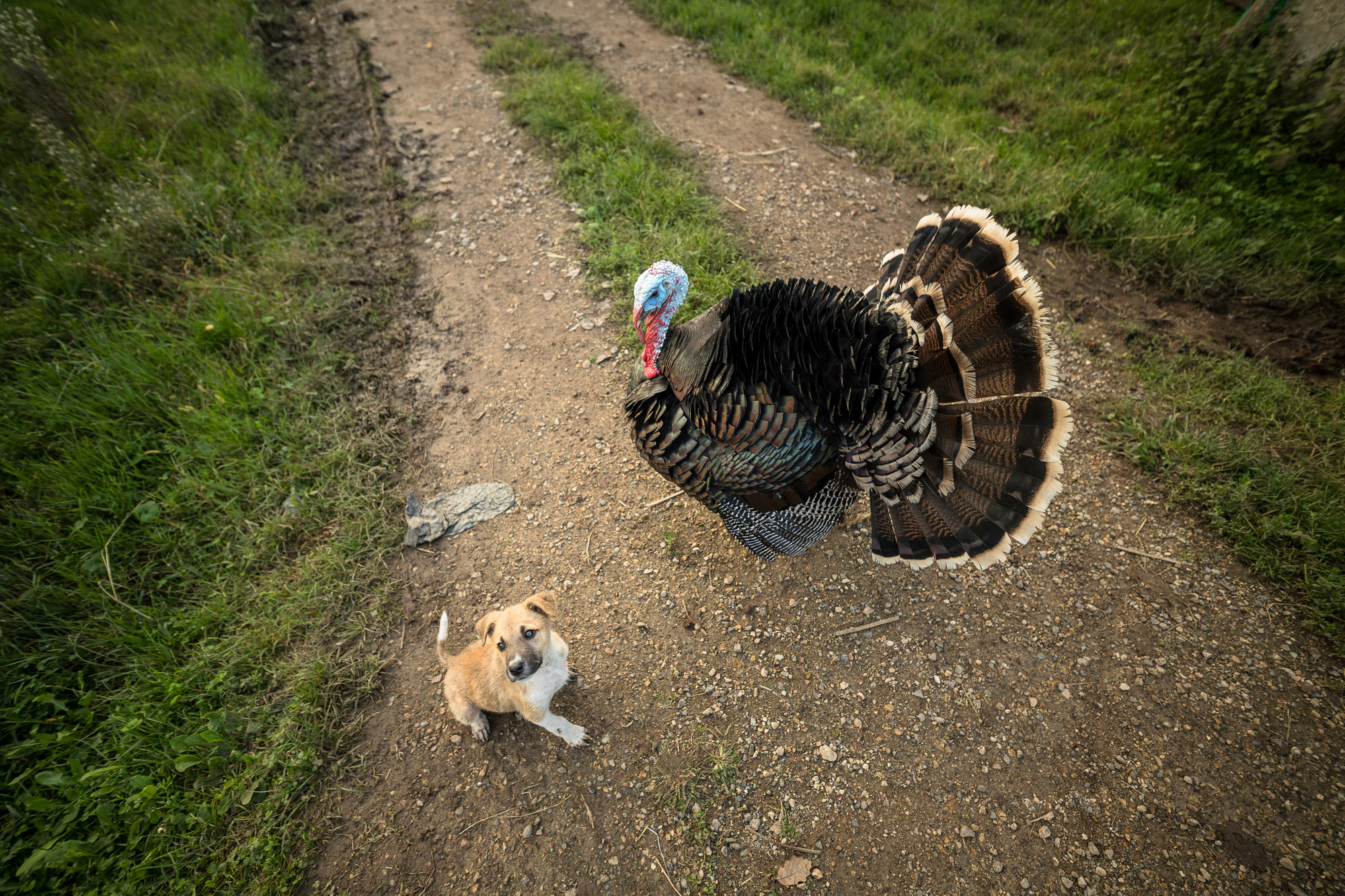 turkey with doggo