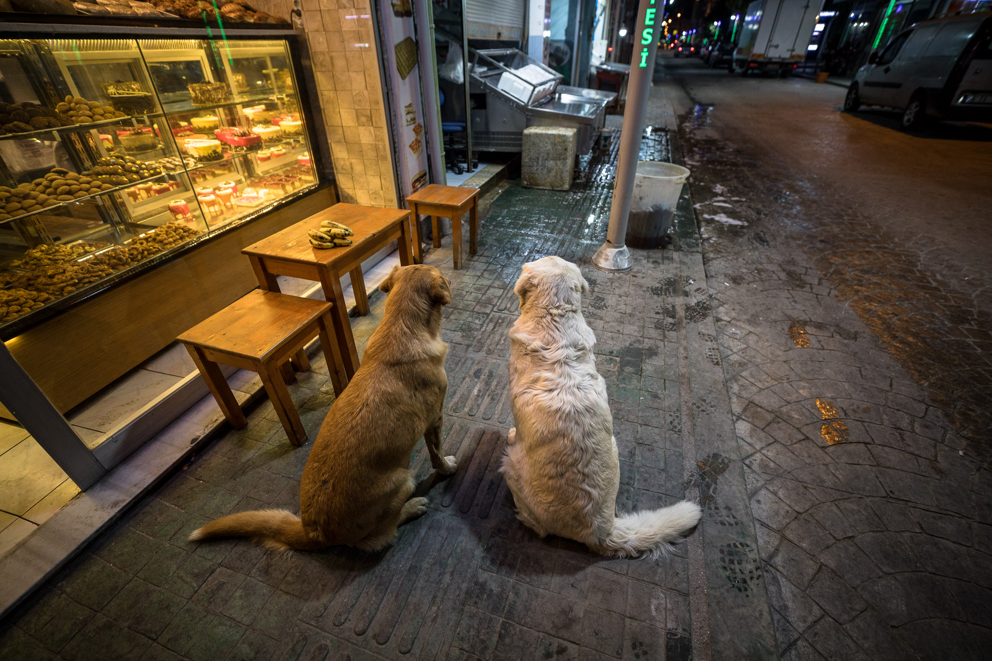 obese dogs waiting for food